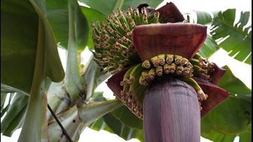 Ancient Human Teeth Solve Bananas' Puzzling Past