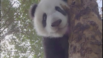 Cute Panda Videos Give Coronavirus Patients Strength in Chinese Temporary Hospital