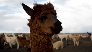 VERIFY: Llamas offer promise to prevent or treat COVID-19