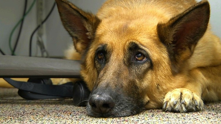 Dogs may have developed 'puppy dog eyes' to communicate with us