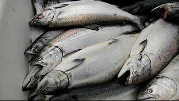 California king salmon make comeback after drought