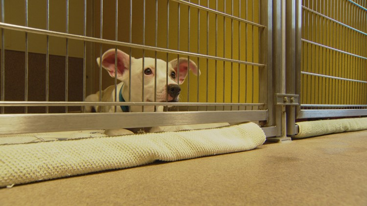 Pandemic pups are now being surrendered at a Denver dog shelter