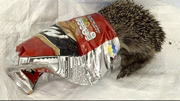 Harrowing Hedgehog! Rescuers Try To Free Hedgehog Trapped In A Bag Of Chips For 3 Days!