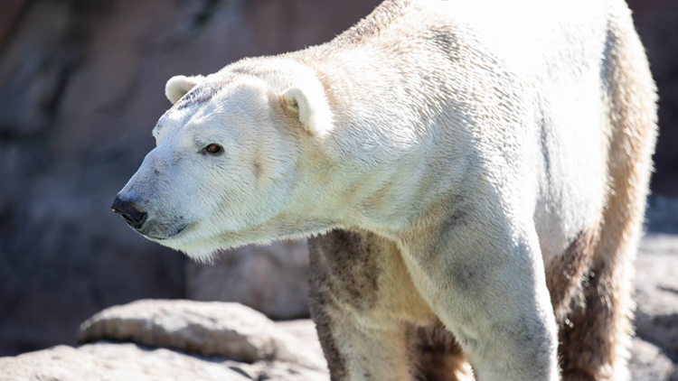 North Carolina Zoo welcomes new polar bear in hopes for a cub