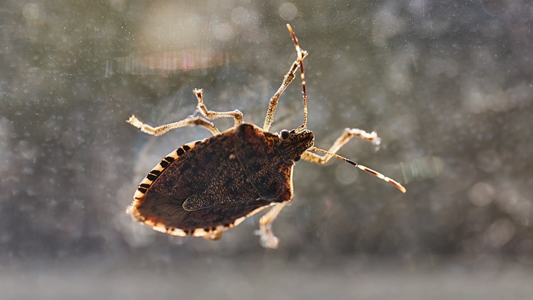 Stink bugs invasion season is here; Here's how to safely get rid of them