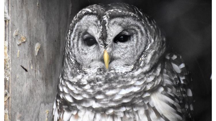 Owl watchers celebrate the 'Superb Owl' this Super Bowl Sunday