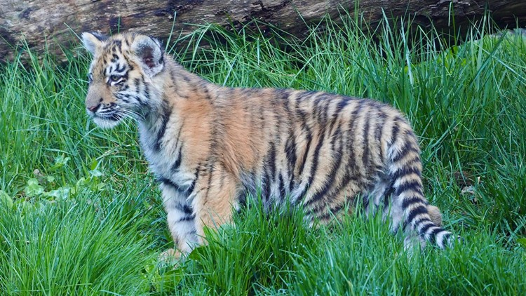 So cute! 3 tiger cubs make playful debut at Cleveland Metroparks Zoo