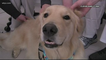 How this Golden Retriever is helping young patients in Cleveland