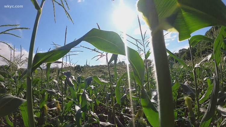 Did Ohio's corn make it to 'Knee-high by the 4th of July'?