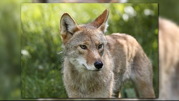 Police: Officer bitten by coyote in east Columbus; animal shot and killed