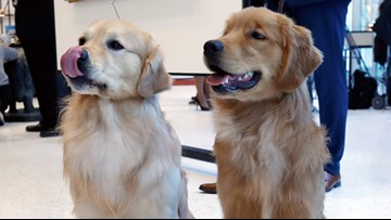 Cleveland-based rescue in need of foster homes for Golden Retrievers