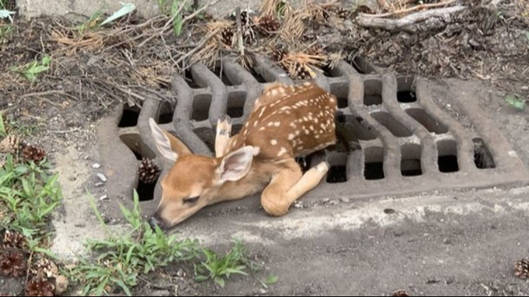 North Olmsted police and service workers rescue baby deer stuck in sewer grate