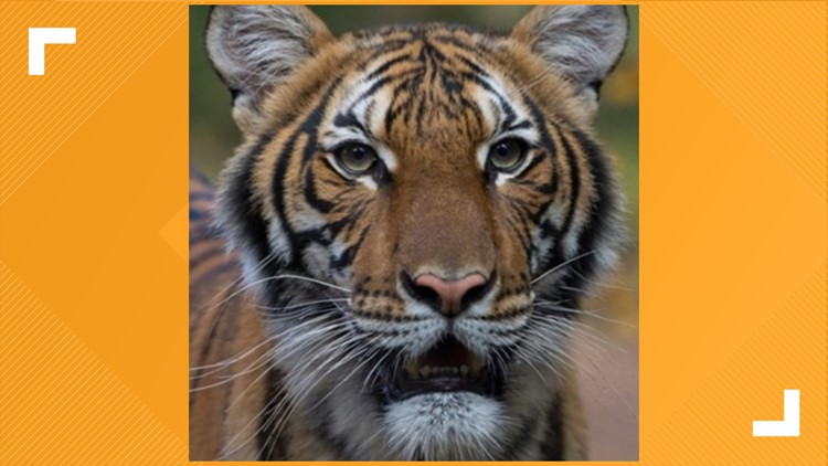 Officials explain how a tiger in a zoo contracted COVID-19; what that means for domestic cats