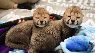 Columbus Zoo provides update on cheetah cubs born through IVF