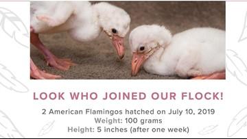 Flamingo chicks hatch at Toledo Zoo