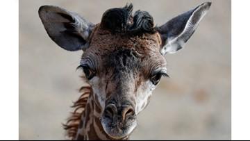 Cincinnati Zoo names its new baby giraffe