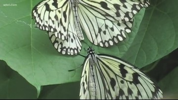 Monarch butterflies stop by northwest Ohio as part of their annual migration
