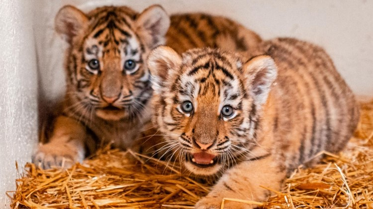 Toledo Zoo wants your help naming new tiger cubs