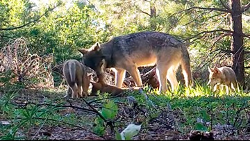 California's only known wolf pack adds 3 pups