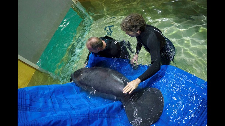 2 orphan manatees from Florida moved to Ohio zoo for rehab