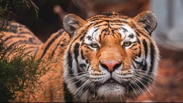 Toledo Zoo welcomes endangered Amur tiger