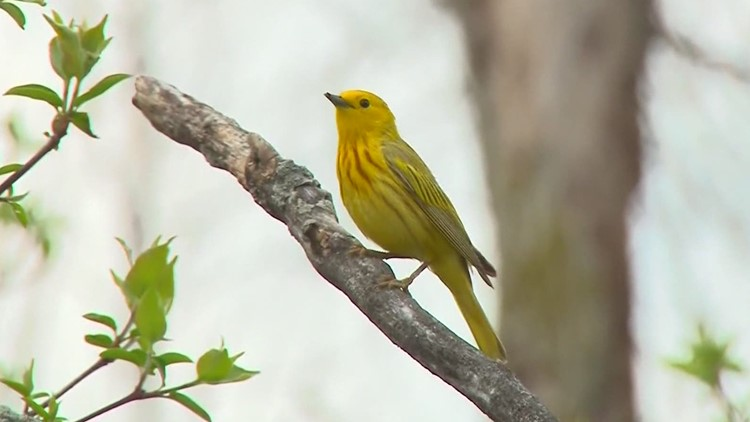 Bird is the word once again for Biggest Week in American Birding
