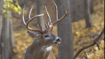 Michigan hunters use branch saw to free entangled bucks