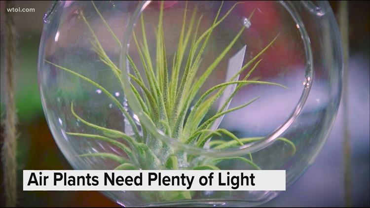 Air plants: Growing plants without soil or a pot | Go 419: Nature's Corner