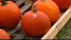Nationwide pumpkin and Christmas tree shortage? Not here in northwest Ohio, farmers say