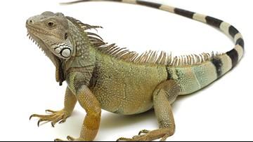 Judge tells restaurant iguana thrower: Don't brag about it
