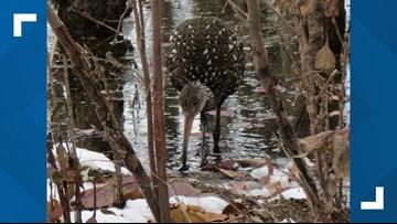 Wetland bird makes unusual appearance at Ottawa National Wildlife Refuge