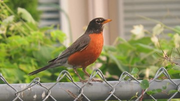 If you hear a robin singing, does that mean spring is on its way?