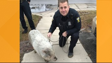 Toledo police safely rescue pig, take him home