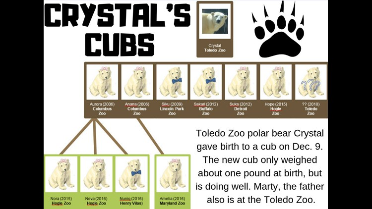 Zoo-goers can start looking for new polar bear cub in spring, Toledo Zoo says