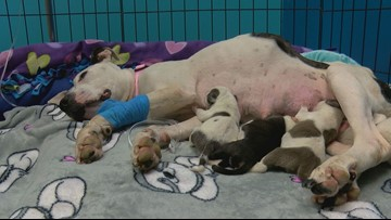 Toledo Area Humane Society hunts for answers after suffering dog giving birth was abandoned in vacant lot