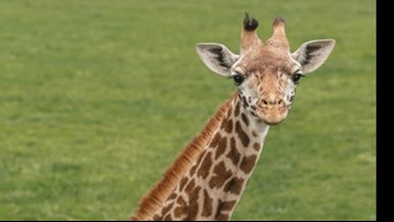 Toledo Zoo giraffe Binti dies