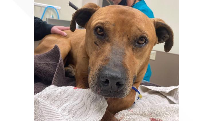 Dog found shot by an arrow in the neck and shoulder, recovering with Toledo Humane Society