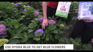 Hydrangeas - there's a science behind the color!*