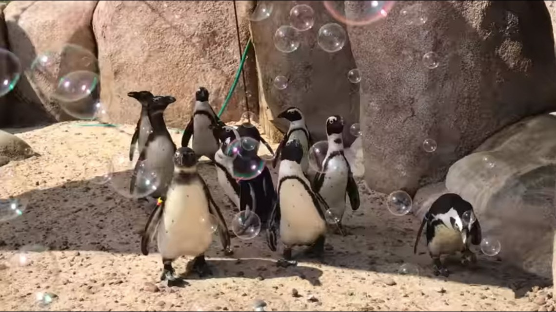 This video of penguins playing with bubbles at the Toledo Zoo is all you need in your life