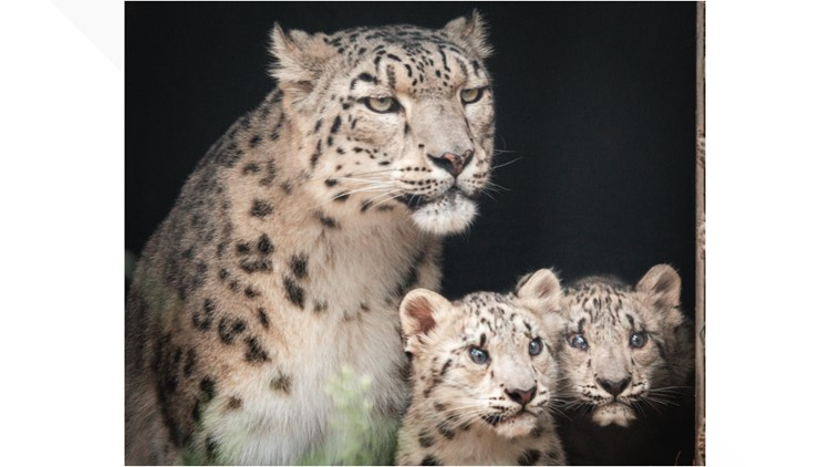 Vote to name the Toledo Zoo's newest snow leopard cubs