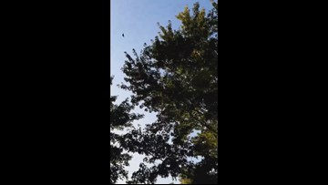 Monarch migration in Fostoria