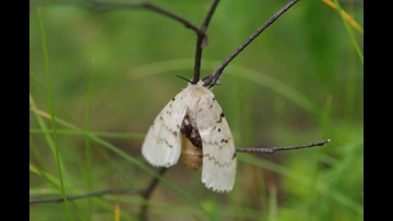 6 area counties to begin treatments to control gypsy moth population