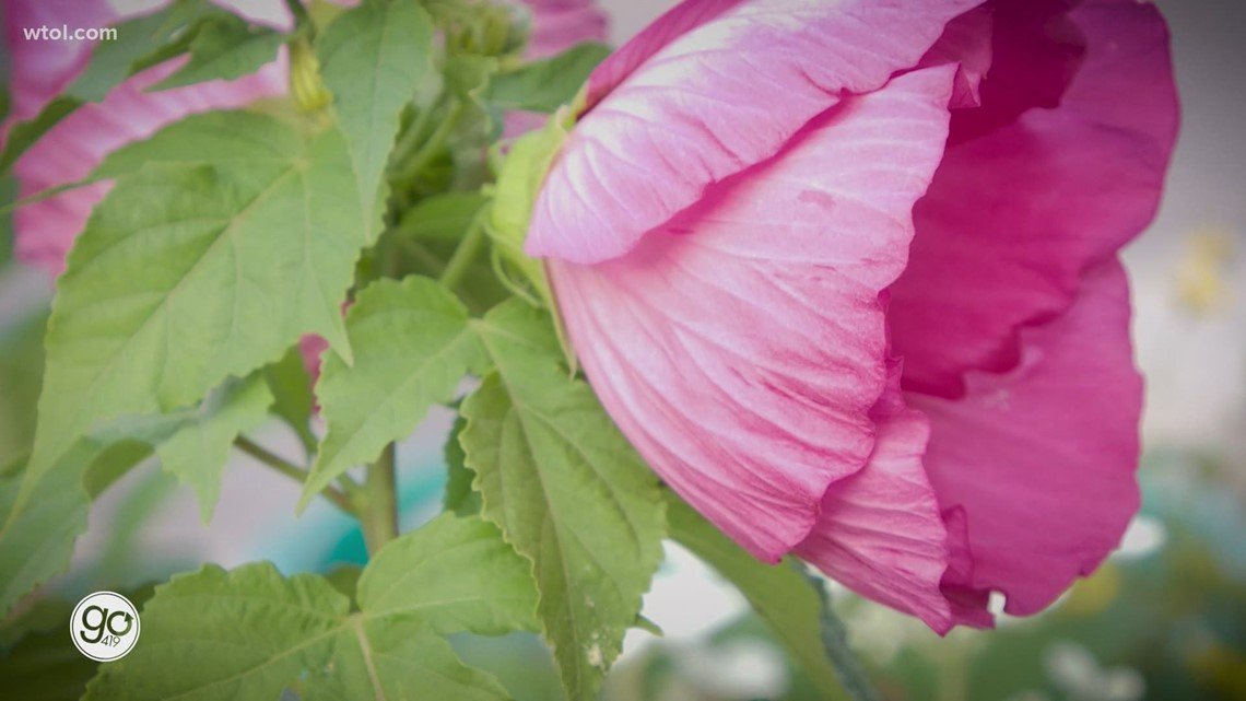 Go 419 Nature's Corner: Nature's Corner give us a look at perennial Hibiscus