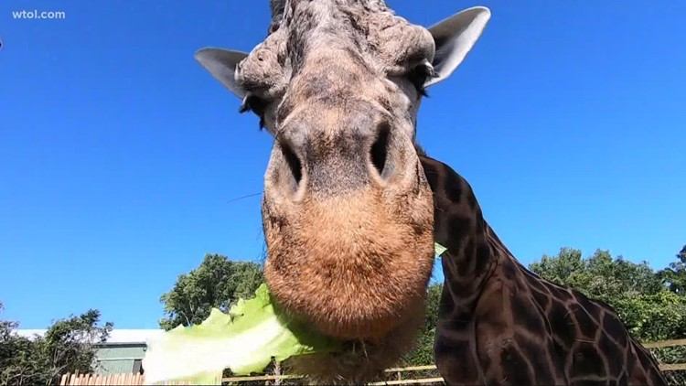 New giraffe exhibit allows an up close and personal experience for visitors