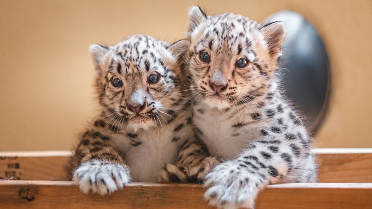 Meet the Toledo Zoo's newest snow leopard cubs this weekend