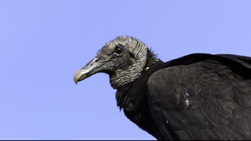 A smell 'like a thousand rotting corpses' | Florida vacation home invaded by vomiting vultures