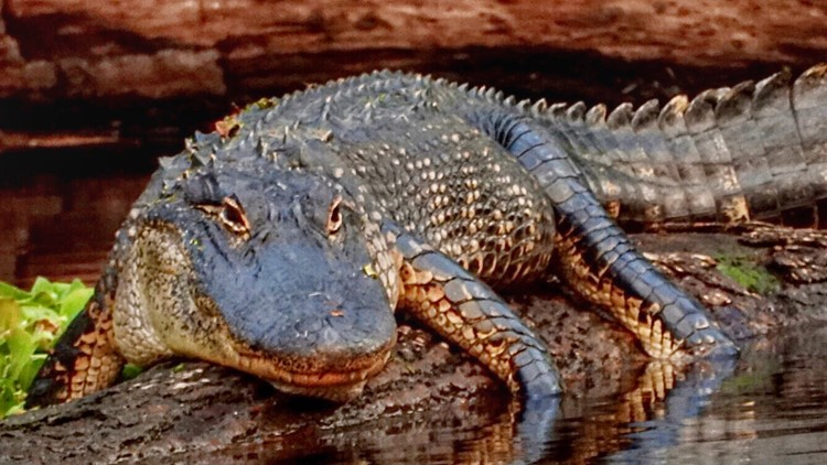 Florida man says he poked an alligator in the eye, wrestled it to rescue his puppy
