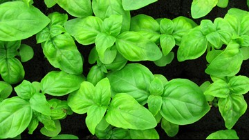 Cyclospora illnesses potentially linked to fresh basil imported from Mexico