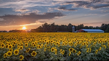 Head to the UP to see this huge 20-acre sunflower field