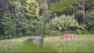 Michigan DNR confirms cougar sighting in Upper Peninsula